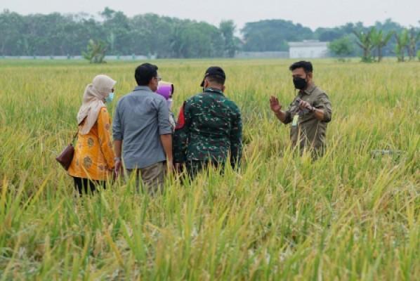 Mentan SYL Panen dan Serap 25.000 Ton Gabah Petani Jombang